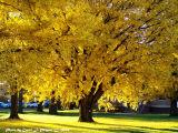 Healing Light  Under the Gingko Trees.