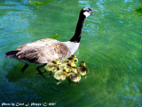 Proud Mother Goose.
