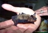 Young Bat.