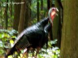 Wild Turkeys on the Run!