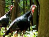 Wild Turkeys on the Run.