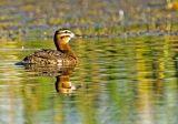 Masked Duck  7532