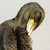 Double Crested Cormorant  6629