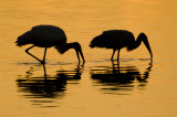 Wood Storks  8825