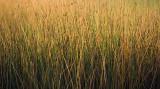 marsh grass pb 1795.jpg