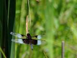 Summer Dragon Fly