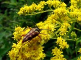 Visitor on the Goldenrod
