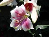 H5-Asian Lillies 7-16-07.jpg