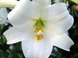 White Trumpet Lily DSC02392 828.jpg