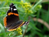 Red Admiral butterfly at  belly acres
