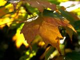 Fall Leaf 2007