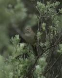 Cassin Sparrow