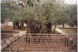 A Very Old Tree No. 1, Jerusalem