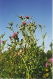 Melancholy Thistle / Cirsium helenioides
