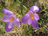 The first crocuses!