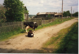 Cows on  a country lane, June 2001