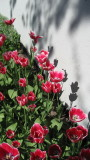 Red Tulips, Black Shadows..