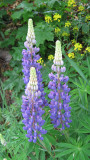 Lupins..