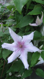The First Clematis of This Summer!