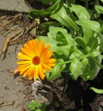 The First  -And the Last  - Marigold '07...