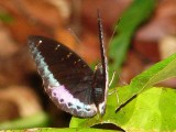 Mormon Butterfly Santobong