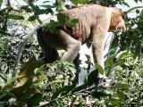 Dominant Male Proboscis Monkey see http://www.proboscismonkey.org/