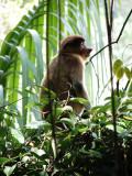 Female Proboscis Monkey see http://www.proboscismonkey.org/
