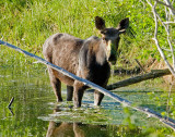 Mossy Moose
