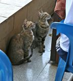 Feral cats in Cyprus, Hawaii and Rome