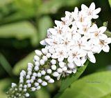 Flowerettes on loosestrife