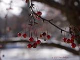 Cornus Malus Berries
