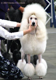 Showing a White Poodle