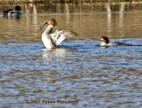 Common Female Merganser battling the fish