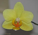 Limey Phalenopsis Orchid