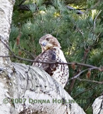 Red Tail Hawk on a Birch Tree