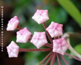 Unopened Hoya Flowerets