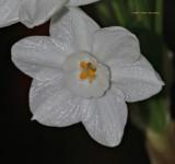 Narcissus Close Up