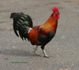 Kauia'i Rooster
