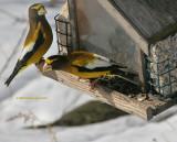 Evening Grosbeak Keeping Watch
