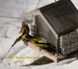 2007 Evening Grosbeaks have arrived!