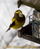 Evening Grosbeak Hungry