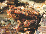 Large Red Toad