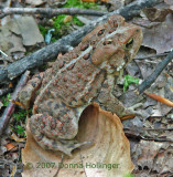 Brown-Red Toad