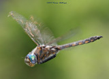 Green Eyed DragonFly