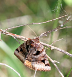 Toothed Somberwing Moth -- Euclidea cuspidea
