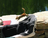 Chipmunk flying off Peter's chair