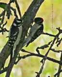 Downy Woodpeckers:  Feeding suet to the female?