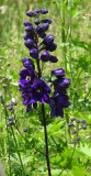 Violet Delphinium