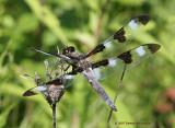 12 spotted skimmer Libellula pulchella 2.0