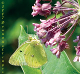 Colias eurytheme (Orange Sulphur)